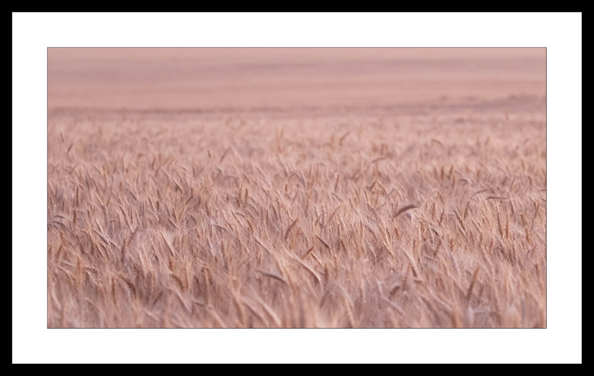 Fine art Image of Wheat Crop